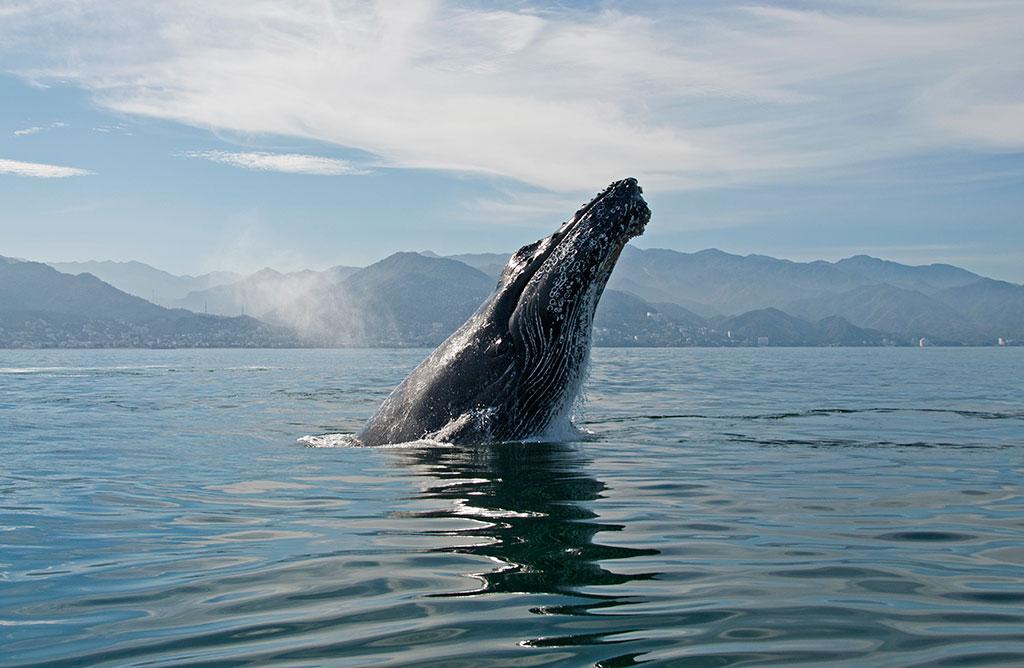 Humpback Whale Puerto Vallarta