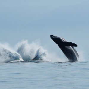 Whales of Puerto Vallarta